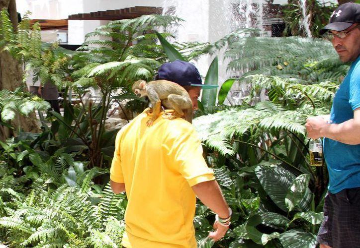 Mientras la Profepa denuncia que durante sus operativos ha detectado a ambulantes con permisos municipales para exhibir fauna exótica, el Ayuntamiento niega saber del tema.  (Adrián Monroy/SIPSE)