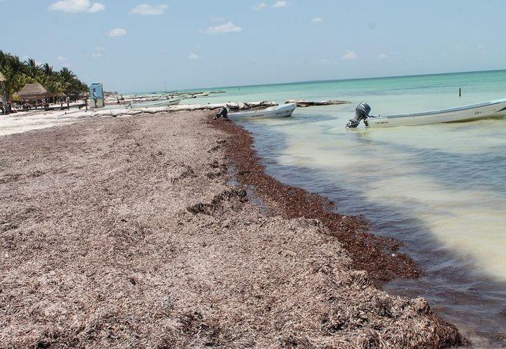 El sargazo ayuda en la conservación de las playas. (Raúl Balam/SIPSE)