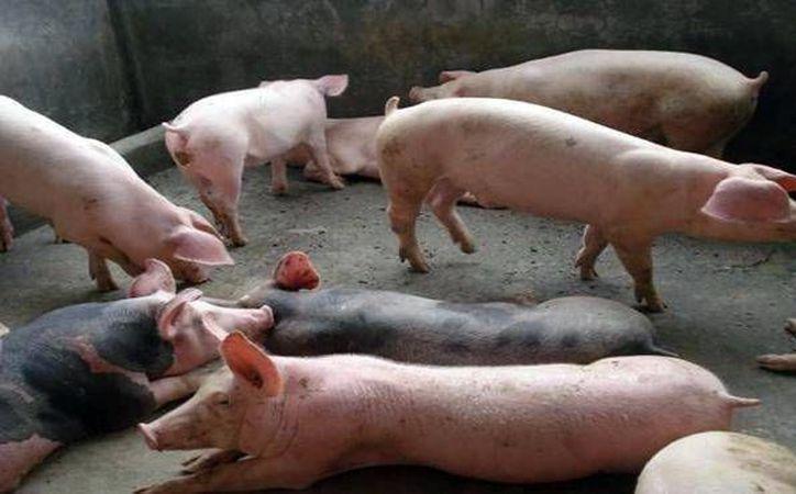Yucatán cerró el año pasado con el cuarto lugar a nivel nacional en exportación de carne de cerdo. La expansión de la empresa Kekén podría mejorar aún más esta realidad. (SIPSE)