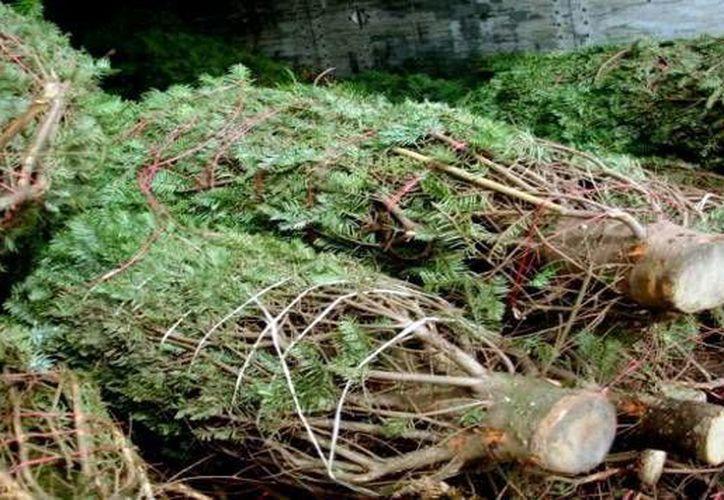 Hasta el momento, los árboles importados pasaron las pruebas de la Profepa. (Milenio Novedades)