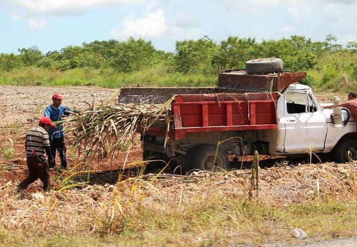 El sector cañero ha sido azotado por años consecutivos por la crisis, lo que ha dejado a los productores sin recursos. (Edgardo Rodríguez/SIPSE)