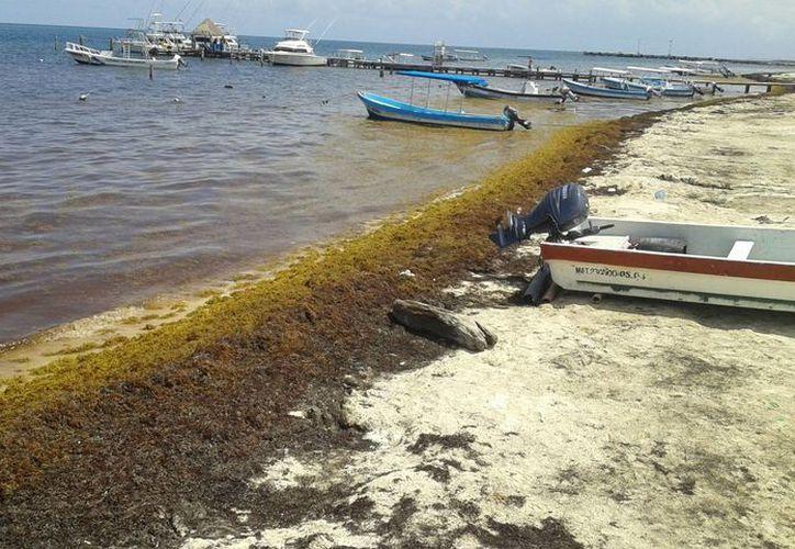 Preparan proyectos para la recolección de las algas marinas. (Licety Díaz/SIPSE)