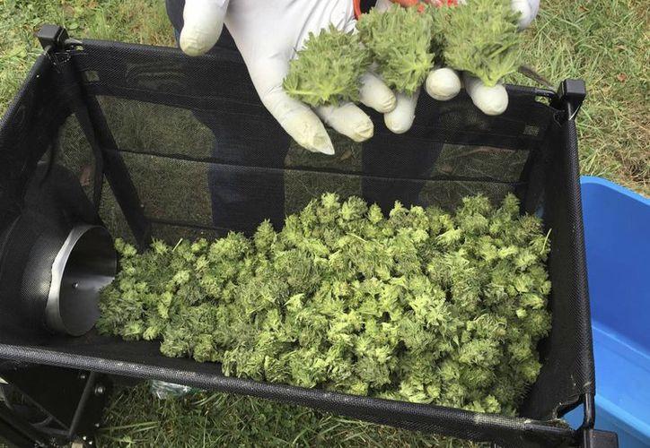 En Argentina se ha legalizado la marihuana para fines terapéuticos exclusivamente. (AP/Andrew Selsky)