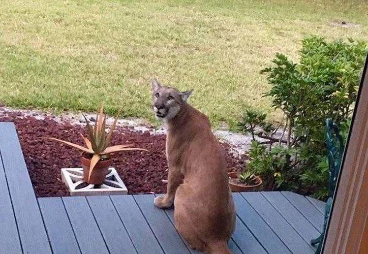 Imagen captada por Phil Hendra, que muestra al felino en su porche. Se alcula que existen menos de 160 este tipo de pumas en el estado. (twitter.com/elnuevoherald)