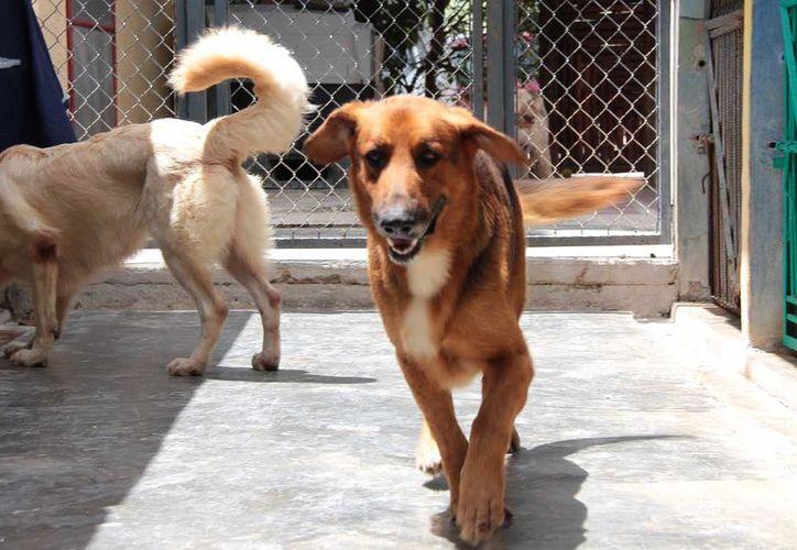 Recomiendan aplicar la vacuna quíntuple, la cual puede salvarle la vida a muchos canes. (Foto: Gustavo Villegas)