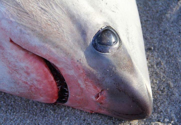 Dos cadáveres han aparecido en la costa del cabo Cod. (Foto: Atlantic White Shark Conservancy).