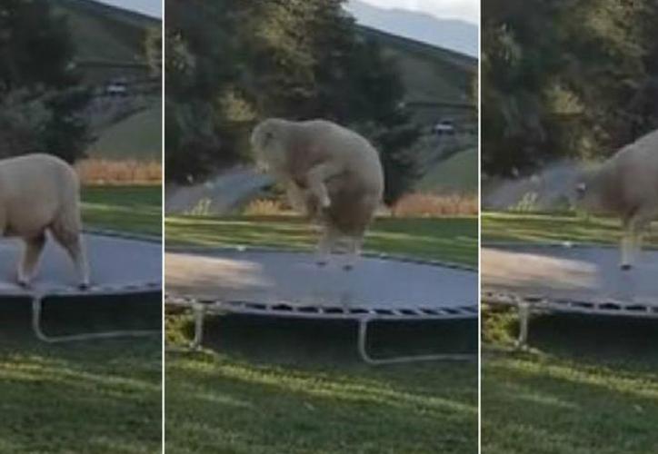 Una oveja ha sido filmada en Nueva Zelanda teniendo el mejor momento de su vida: saltando en un trampolín. (Foto: Redes Sociales)