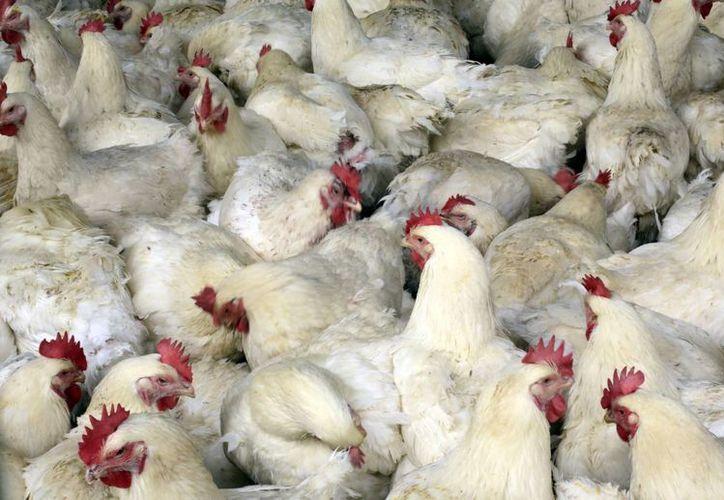 Los enfermos habrían contraído el virus tras contacto con aves infectadas. (Agencias)