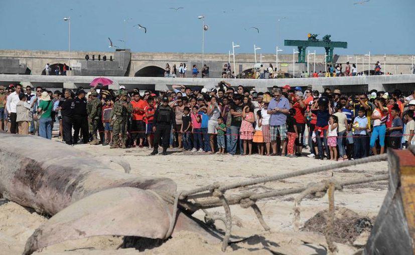 Decenas de personas llegaron desde temprano a la playa, en Progreso, en el sitio en donde una ballena muerta recaló. Ante la falta de vigilancia, mucho de los curiosos montaron el cadáver para tomarse fotos. (Cuahtémoc Moreno/Milenio Novedades)