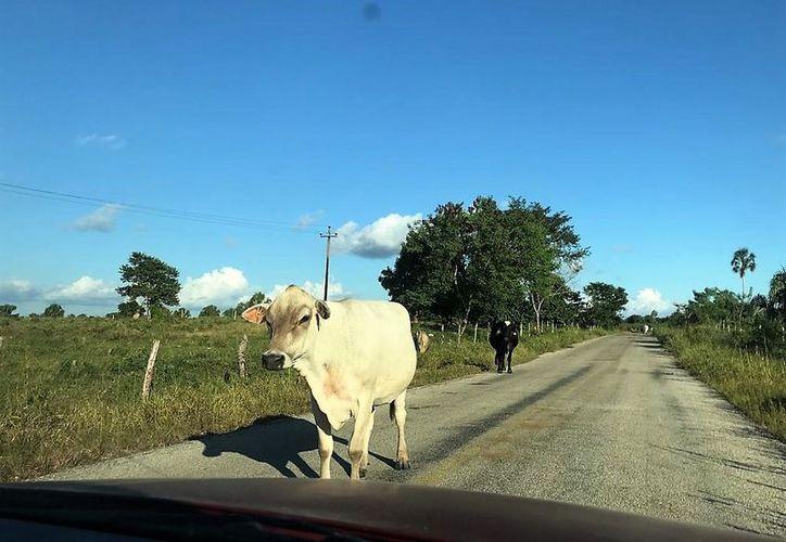 En las zonas ganaderas como Río Verde, Altos de Sevilla, Reforma constantemente se ve ganado cruzando la carretera. (Javier Ortiz/SIPSE)