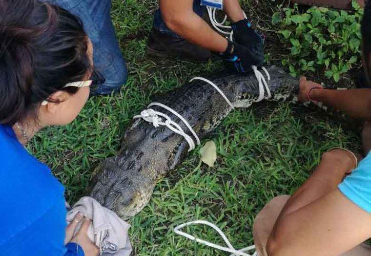El espécimen fue capturado por personal de  Bomberos y Protección Civil. (Daniel Pacheco/SIPSE)