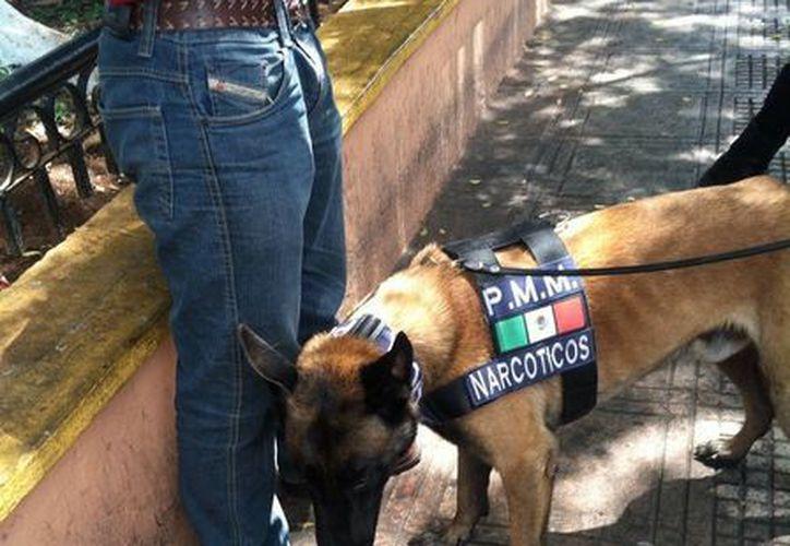 El agente canino 'Cecilio' olfatea al joven que tenía droga en uno de los bolsillos del pantalón. (Jorge Sosa/SIPSE)