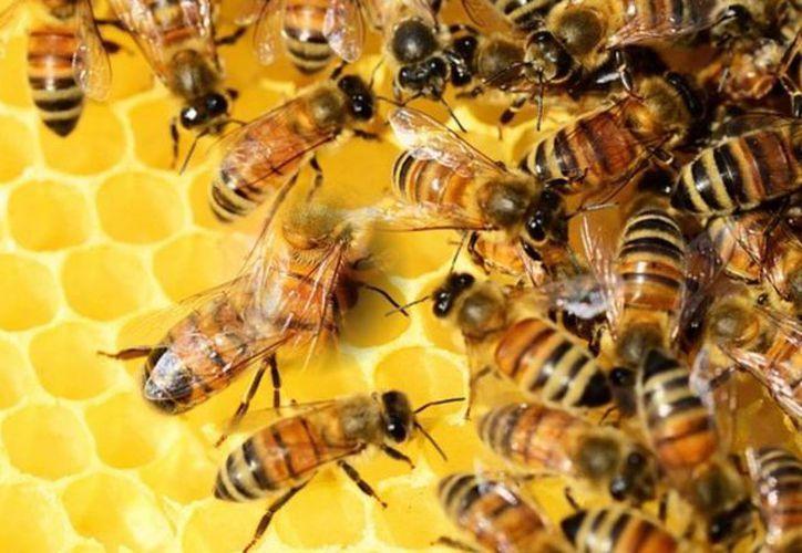 De acuerdo con la tradición maya la miel de las abejas tiene propiedades curativas para enfermedades como respiratoria, digestiva, circulatorio, inmunológico; en los ojos, oídos, piel, boca; para calmar las fiebres y remedios para picaduras y mordeduras hasta de serpientes. (Milenio Novedades)