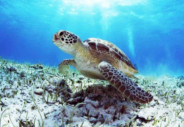 El comité busca conservar las especies carey, blanca, caguama y laúd que arriban a las costas del Caribe Mexicano. (Aquaworld).