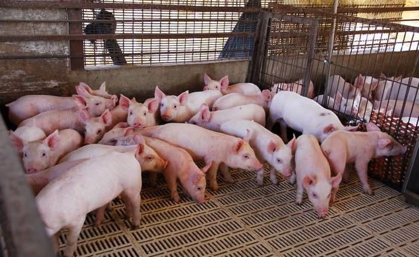 La carne de cerdo yucateca ha tenido un buen año, con una venta consolidada de alrededor de 500 millones de dólares. (Milenio Novedades)