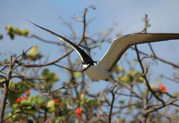 Para esta época son diversas las especies de aves que llegan al Arrecife Alacranes. (José Acosta/ Milenio Novedades)