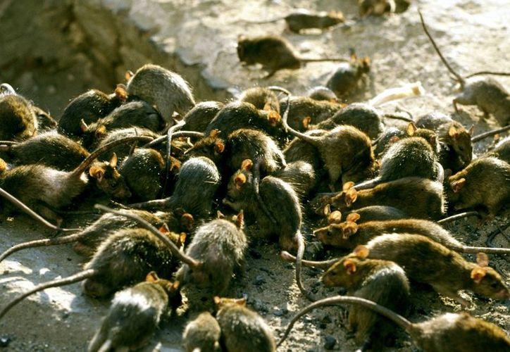 Luego de las perores inundaciones que ha sufrido el Estado de Kerala, en la India, ha surgido un brote de leptospirosis, o 'fiebre de la rata'. (Internet)