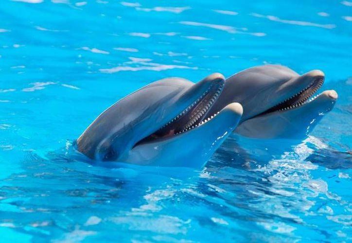 Quintana Roo ocupa el primer lugar nacional por tener el mayor número de delfines en cautiverio. (Redacción/SIPSE)