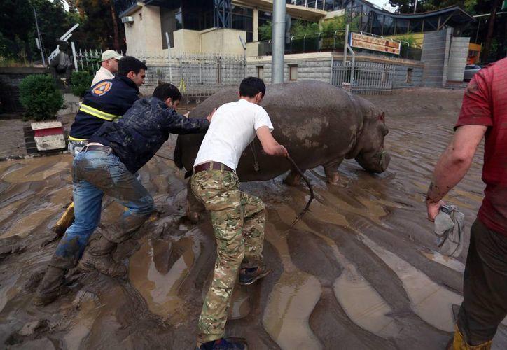 Una cuadrilla de trabajadores intentan movilizar a un hipopótamo que escapó del zoológico de Tblisi, Georgia, tras las intensas lluvias que azotaron la ciudad el domingo. (EFE)