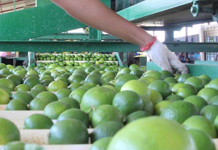 En Mérida el limón se sigue vendiendo a 60 pesos, a pesar de que en otras partes del país ya está bajando el precio. (Notimex)
