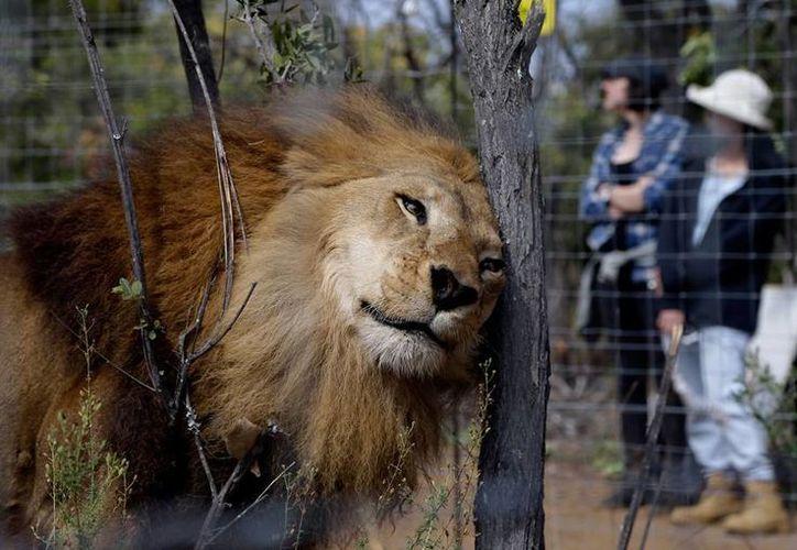 Leones que fueron rescatados de circos en Colombia y Perú llegaron a su nuevo hogar en Sudáfrica. (AP)