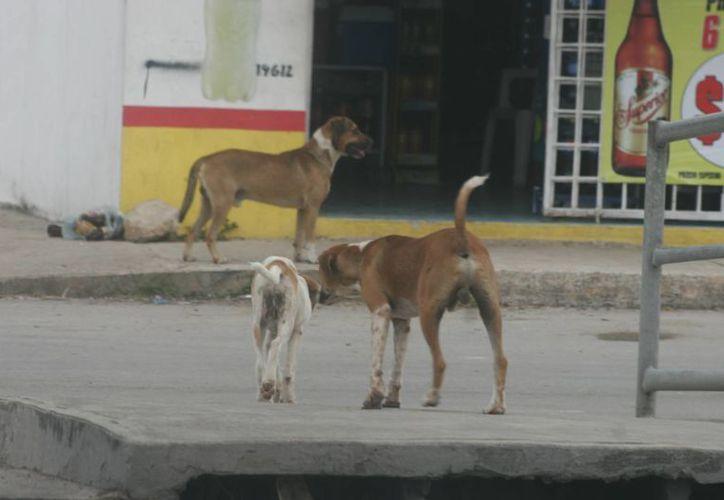 Un menor y un policía han sido atacados recientemente por estos canes peligros. (Harold Alcocer/SIPSE)