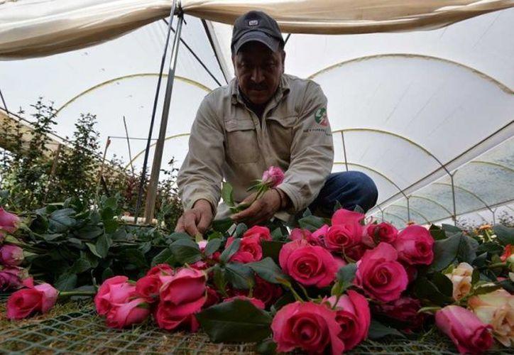La rosa cuenta con más de 200 especies que derivan en unas 30 mil variedades. (Foto: Cuartoscuro)
