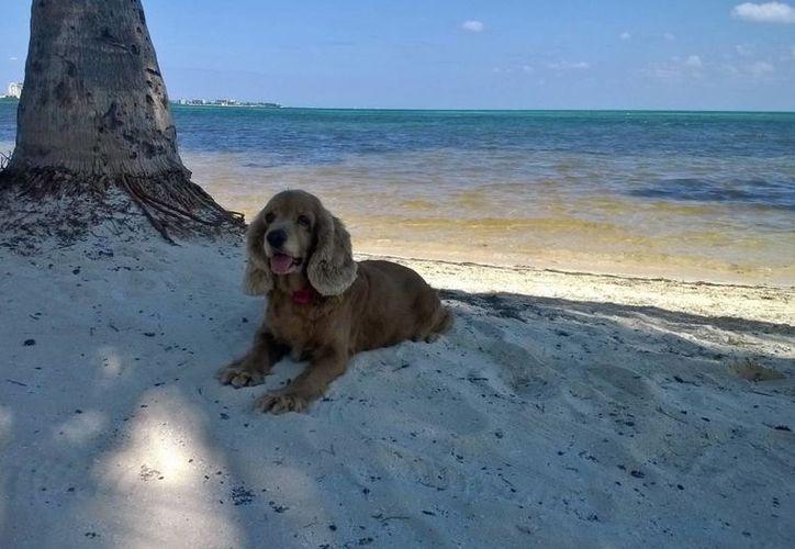 Las mascotas son aceptadas en la playa de 5 a 11 de la mañana. (Redacción/SIPSE)