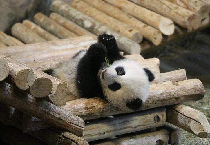Uno de los dos pequeños pandas, ahora de seis meses, primeros nacidos en cautiverio en Canadá. (Foto: Isabel Inclán/Notimex)
