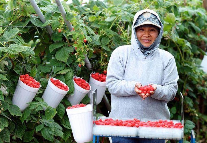 Berrymex, que se dedica al cultivo de frutos rojos y se trata de una de las empresas emblemáticas en San Quintín. Imagen de una jornalera de Berrymex. (facebook.com/berrymexbaja)