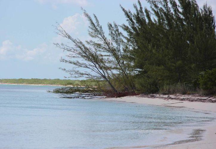 La Casuarina o pino de mar es una especie invasora de la cual la FPMC  aprovecha la madera. (Gustavo Villegas/SIPSE)
