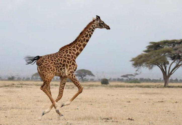 El mamífero más alto sobre la tierra está en peligro de extinción debido a la caza ilegal y la pérdida de su hábitat. (Foto: Internet)