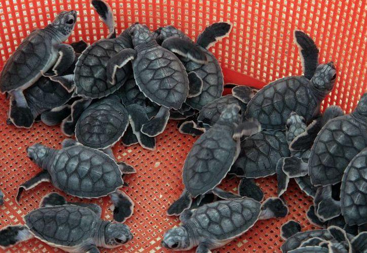 Con la tecnología se conocerán las rutas más usadas por las tortugas marinas para realizar el desove en las costas. (Tomás Álvarez/SIPSE)