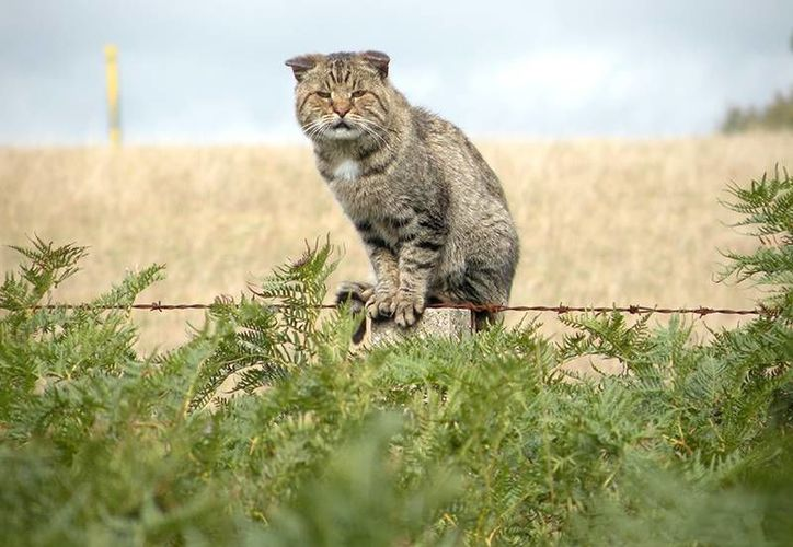 Debido a la amenaza en la que se han convertido para la diversidad animal de Australia, las autoridad han optado por matar a dos millones de gatos. (depi.vic.gov.au)