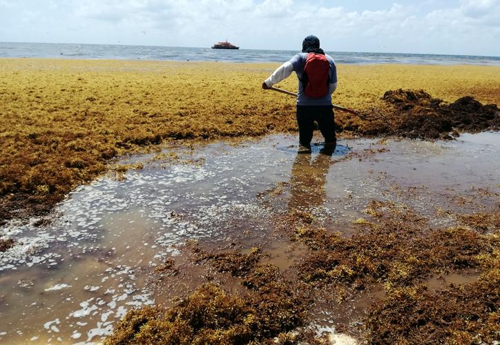 Algunas de las zonas más afectadas ayer en Solidaridad con grandes cantidades de alga fueron Mamitas, Punta Esmeralda, Caribe y Playacar. (Octavio Martínez)