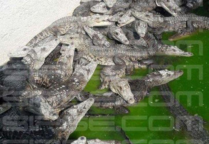 La piel del cocodrilo de pantano puede ser explotada sin afectar a la especie. (Eddy Bonilla/SIPSE)