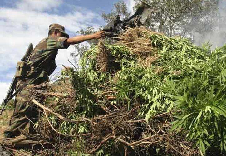 Tras su llegada, los soldados resguardaron el sitio y destruyeron el plantío. (Foto de contexto/conexiontotal.mx)