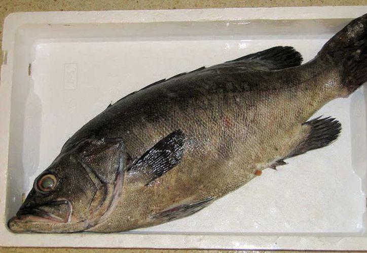 La pesca del mero reporta mayor ingreso para el sector de pescadores. (Israel Leal/SIPSE)