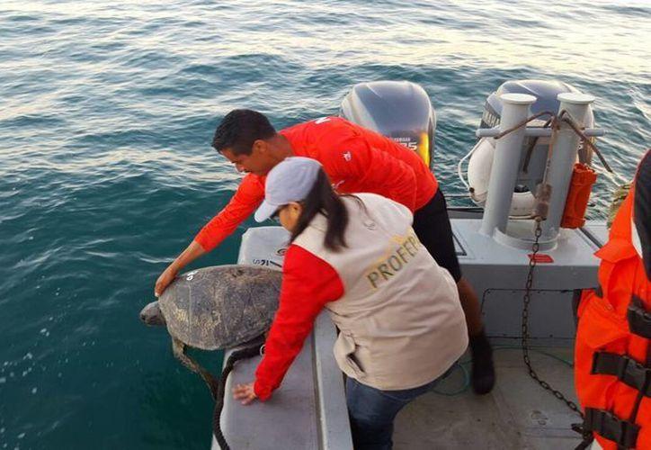 Imagen de contexto dl 20 de marzo de 2016, que muestra a personal de Profepa y de la Secretaría de Marina-Armada de México reintegraron a su hábitat natural a 10 tortugas de la variedad caguama, en Ensenada, BC. (Archivo/Notimex)