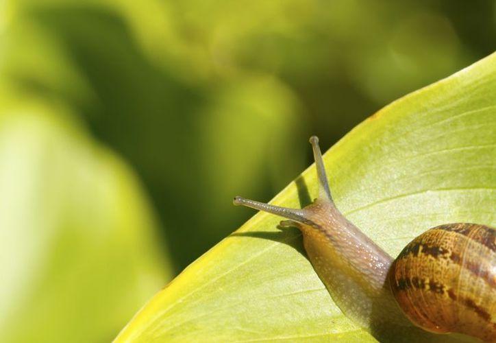 La baba de caracol está llena de nutrientes. (Contexto/Internet).