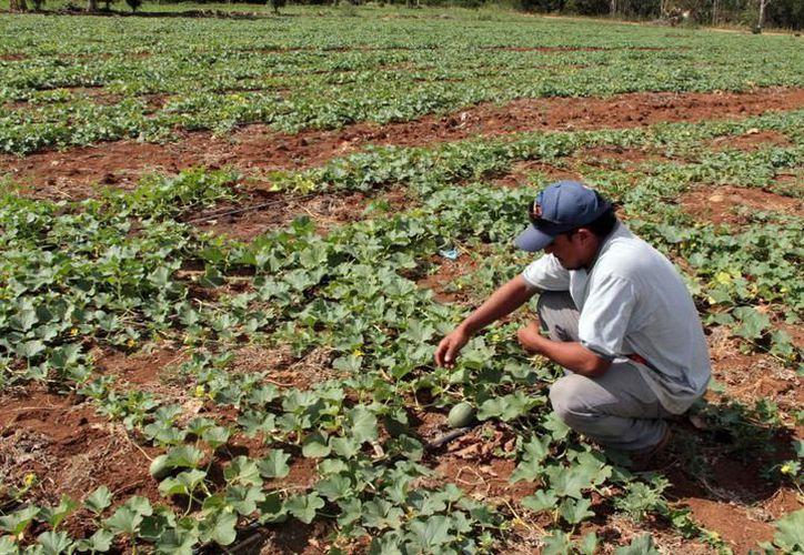 El Gobierno estatal incrementó en un 13% el monto de aportación al fondo de seguros agrícolas, el cual llegó a poco más de 37 millones de pesos. (Foto: Archivo/SIPSE)