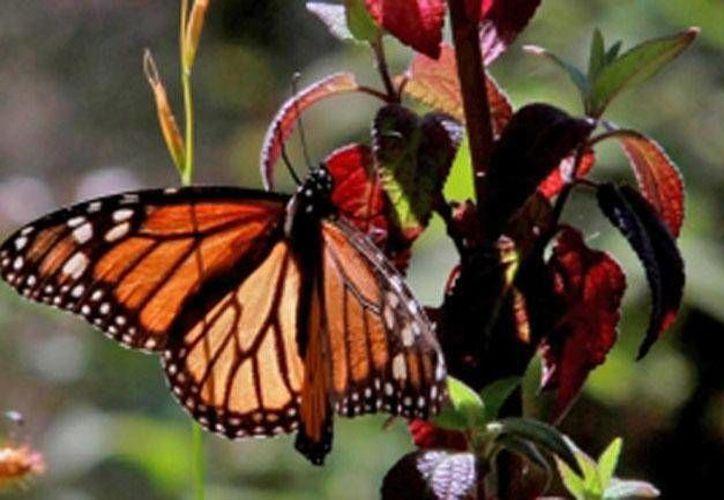 Alrededor de 140 millones de mariposas Monarca arribaron en la temporada 2015-2016 a la Reserva de la Biosfera Mariposa Monarca. (Archivo Notimex)