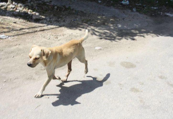 Los perros callejeros de Tulum ya no pueden ser capturados porque no hay un Centro de Bienestar Animal en el municipio. (Sara Cauich/SIPSE)