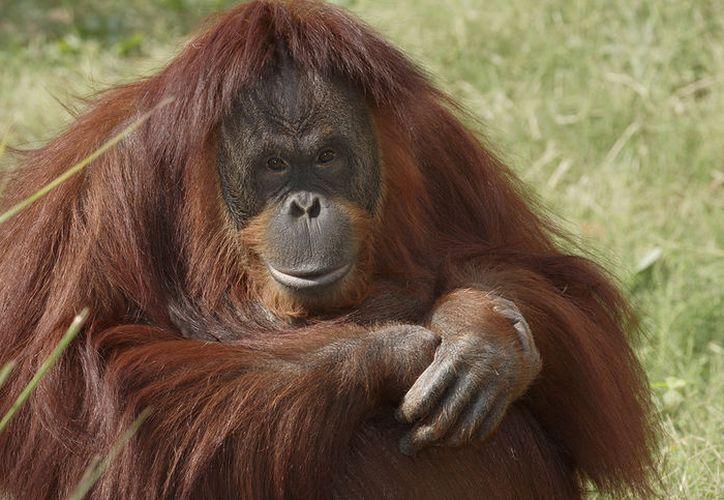 Dos hombres indonesios han sido arrestados por dispararle a un orangután varias veces y luego decapitarlo. (Foto: National Zoo)