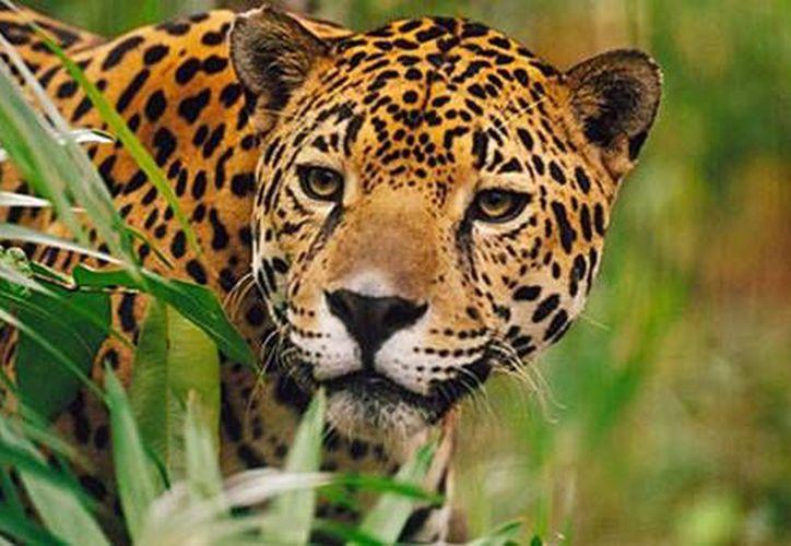 La organización busca promover la educación y el cuidado de la vida silvestre. (Adrián Barreto/SIPSE)