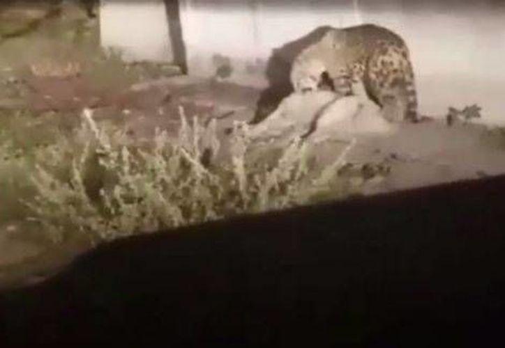 La policía acudió al lugar, pero como el animal era agresivo, decidieron dispararle. (Milenio)