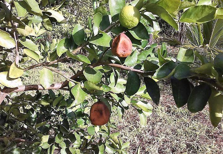 Los frutos terminan secos parcialmente en el mismo árbol y posteriormente se caen.(Javier Ortiz/SIPSE)