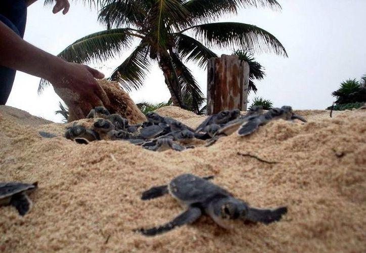 En el santuario se han liberado  más de cinco mil tortugas. (Redacción/SIPSE)
