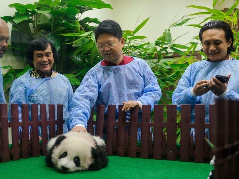 New baby panda at Malaysia Zoo in Kuala Lumpur, Malaysia.