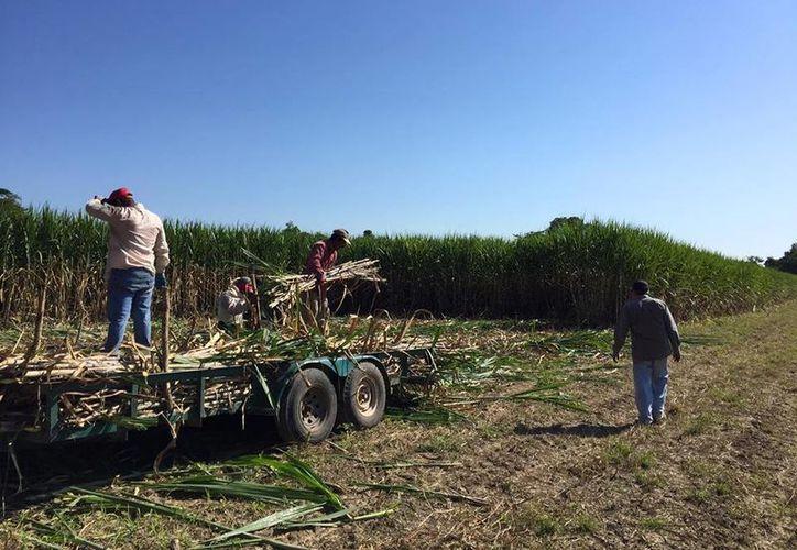 Los más de dos mil 300 productores de caña podrán financiar sus trabajos de mantenimiento. (Carlos Castillo/SIPSE)